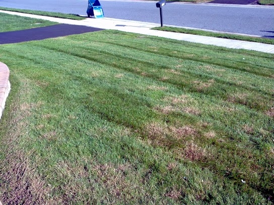 Summer Patch Lawn Disease Before Treatment
